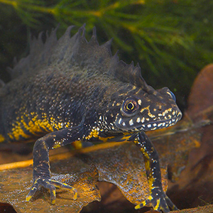 Great Crested Newts are protected by law