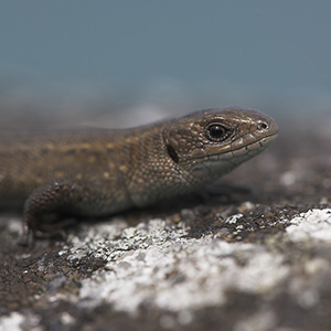 Great Crested Newt survey is one of the most requested surveys