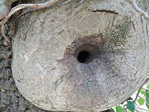 Nuthatch nest hole