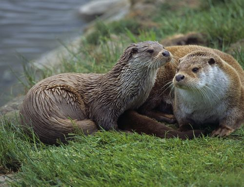 Otters Captured on Remote Camera Traps